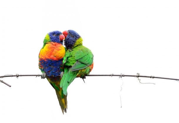 Lorikeets Kissing on the Wire