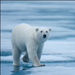 Polar Bear, Svalbard, Norway