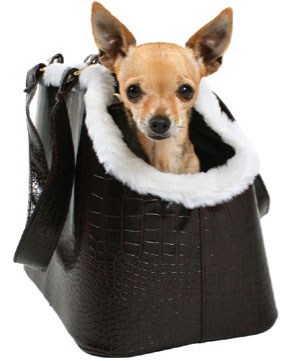 "This is a photo of ""Charlie Sheen,"" April Fule's accessory Chihuahua. Isn't he to die for?!"
