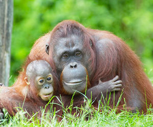This is a photo of an orangutan with its baby.