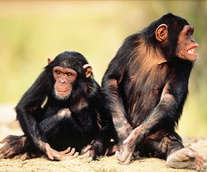 This is a photo of chimpanzees.