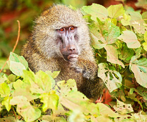 This is a photo of an olive baboon in the wild.