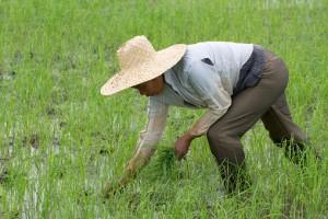 Filipino woman working on a rice field