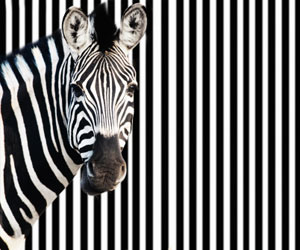 This is a photo of a zebra standing in front of black and white stripes.