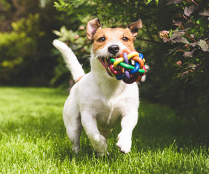 This is a photo of a dog running with a toy in its mouth.
