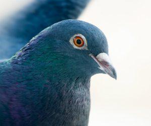 paff_102516_pigeonsmultitasking_newsfeature