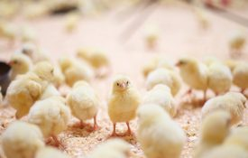 A baby chick in the middle of a crowd