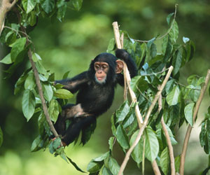 Like Humans, Chimpanzees Know What They Know – Association