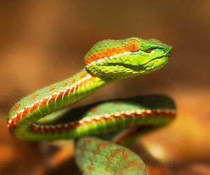 This is a photo of a pit viper.