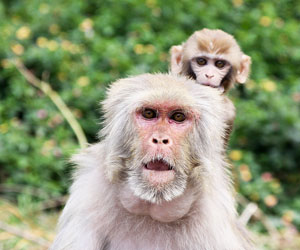 This is a photo of an adult macaque with a baby on its back.