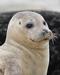 This is a portrait of a Harbor Seal.