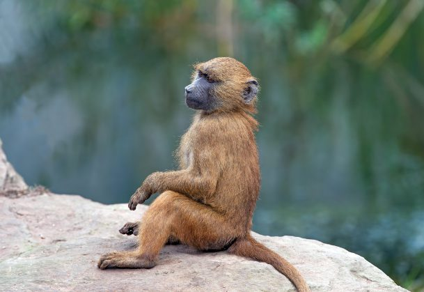 Guinea Baboon on large grey rock