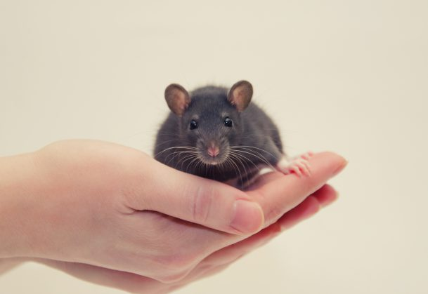 Psychological Scientists Advocate for Value of Animal Research, Transparency